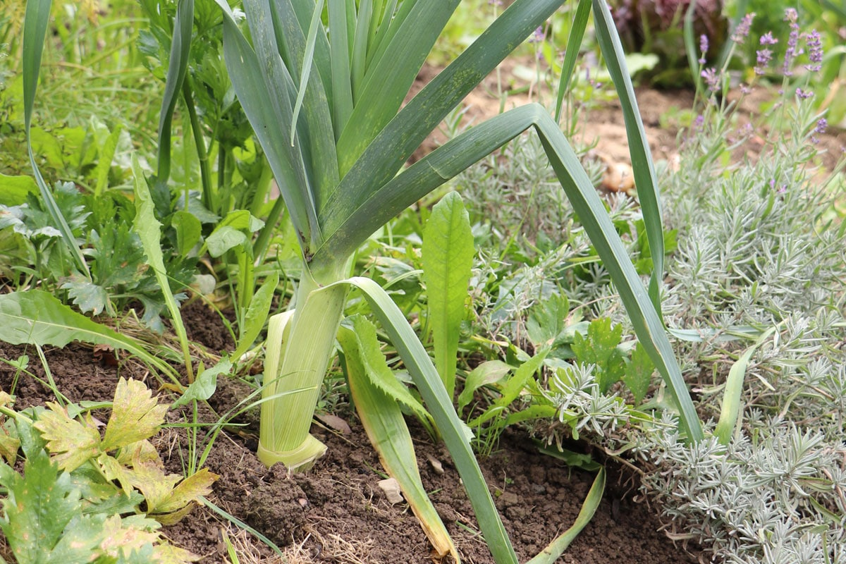 Tomaten-Mischkultur - Lauch (Allium porrum)