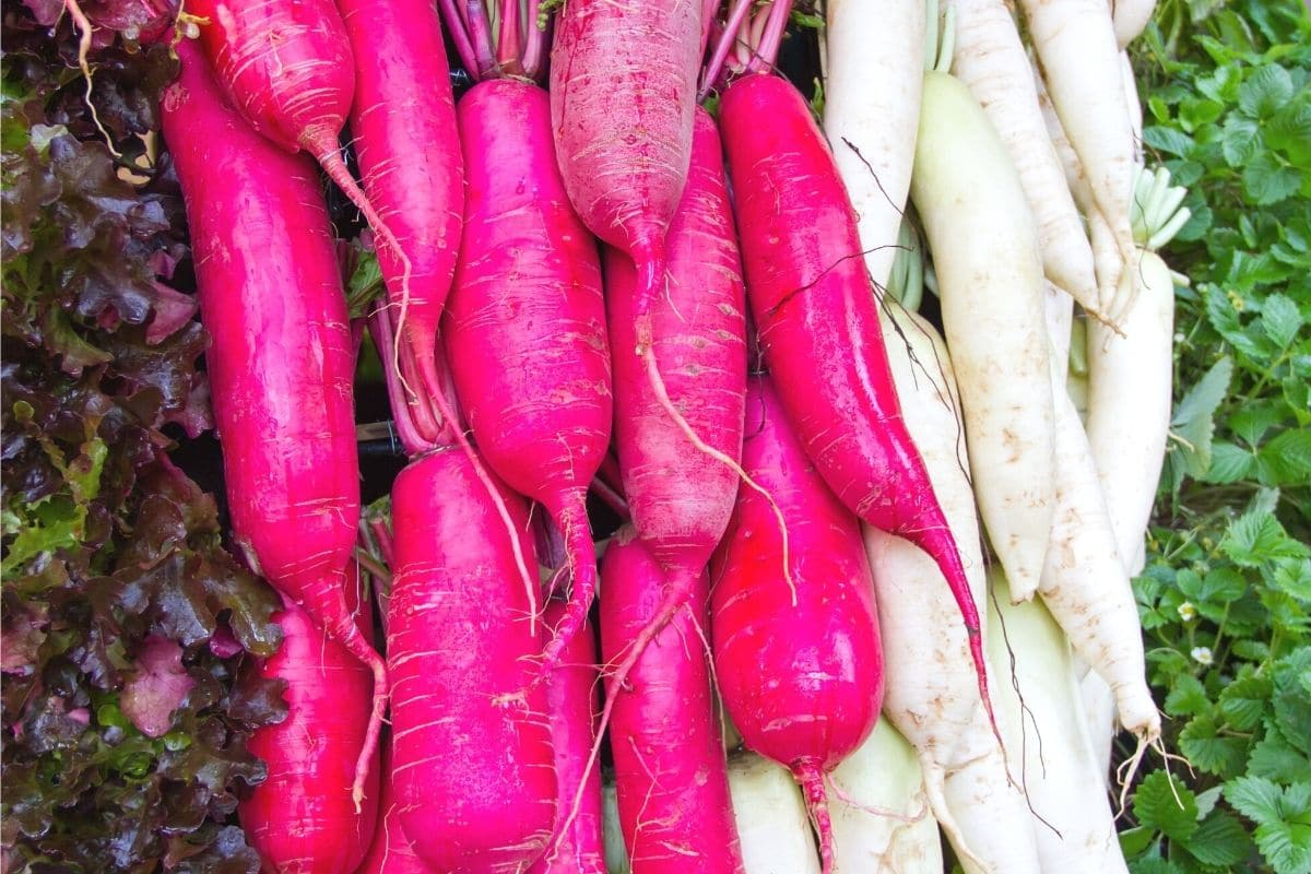 Gemüse im September säen - Rettich