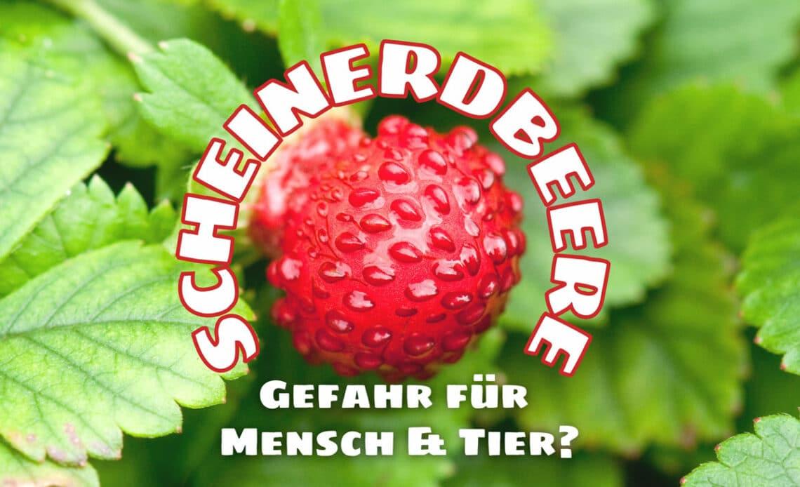 Scheinerdbeere giftig