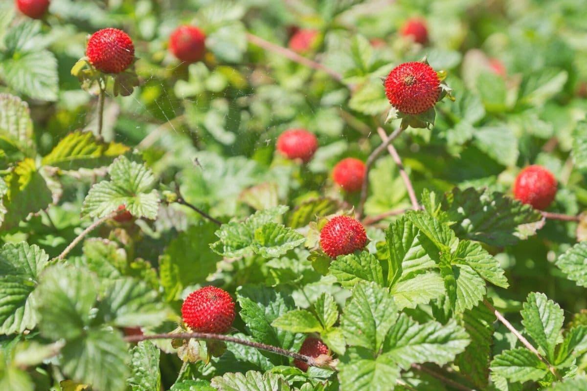 Scheinerdbeeren (Potentilla indica)