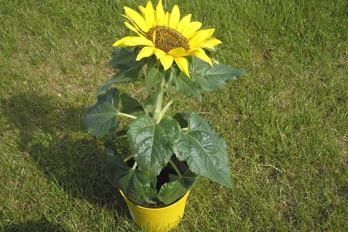 Sonnenblume im Kübel