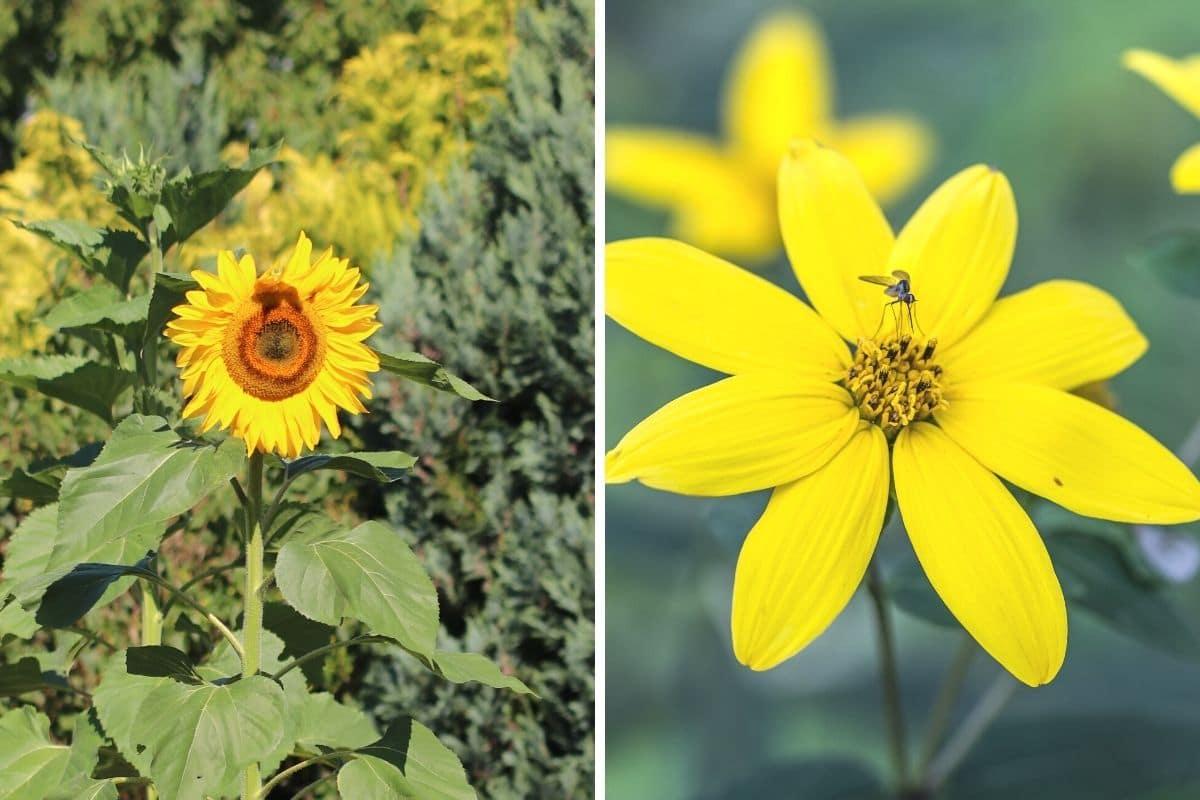 Sonnenblumen (Helianthus annuus und Helianthus mollis)