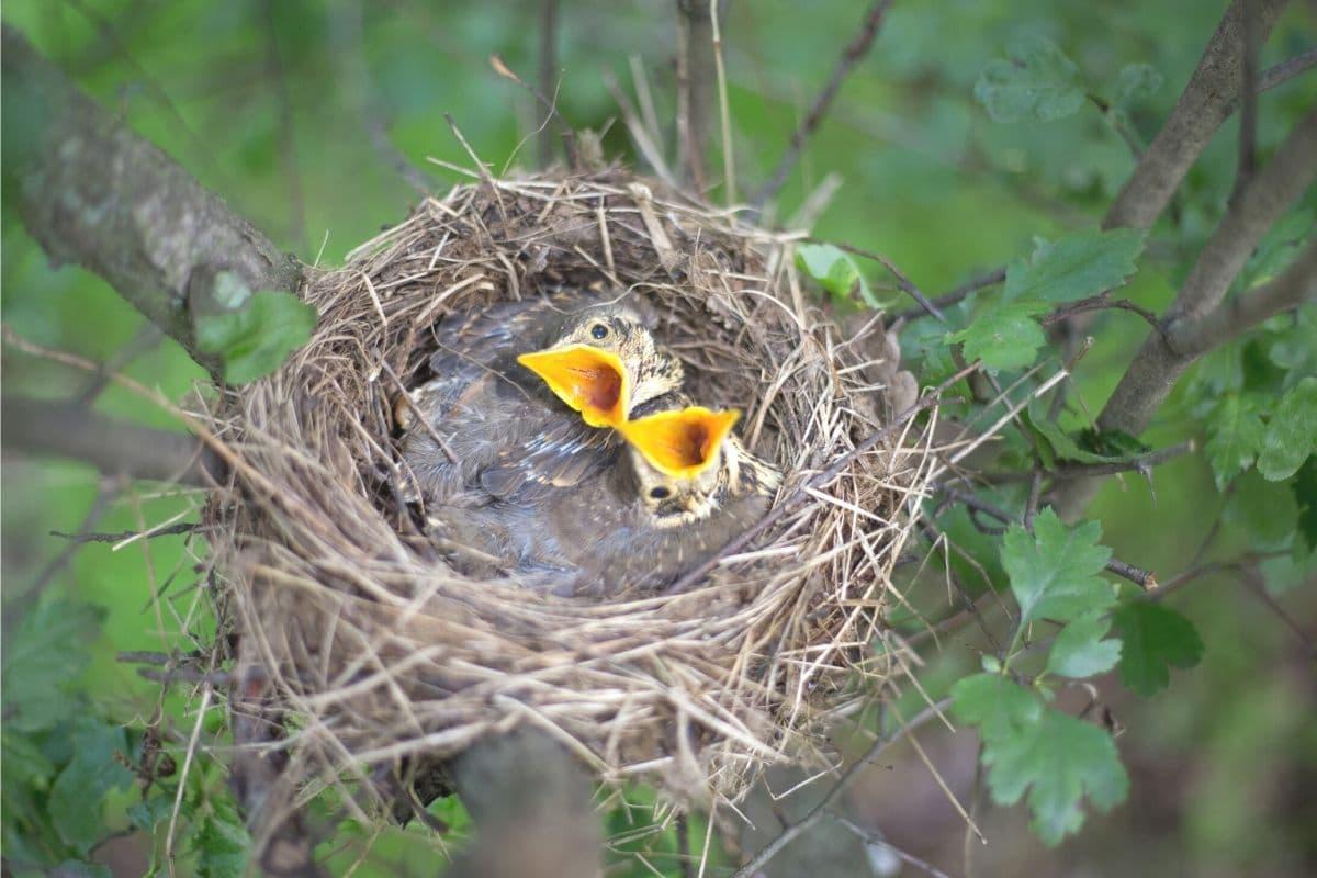 Vogelnest mit zwei Jungvögeln in Baum