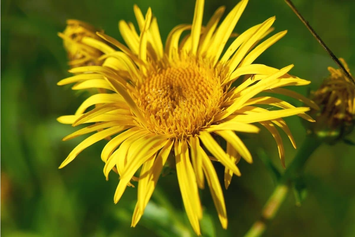 Weidenblättriger Alant (Pentanema salicinum)