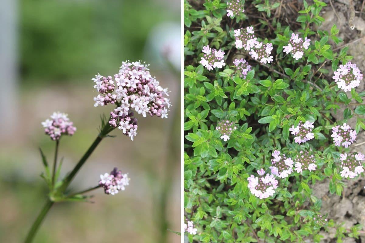 Kräuter im Schmetterlingsgarten - Baldrian und Thymian