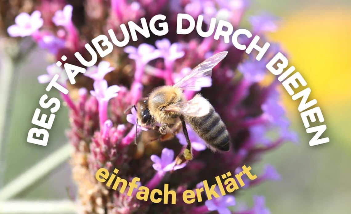 Bestäubung durch Bienen - Biene an Schmetterlingsflieder