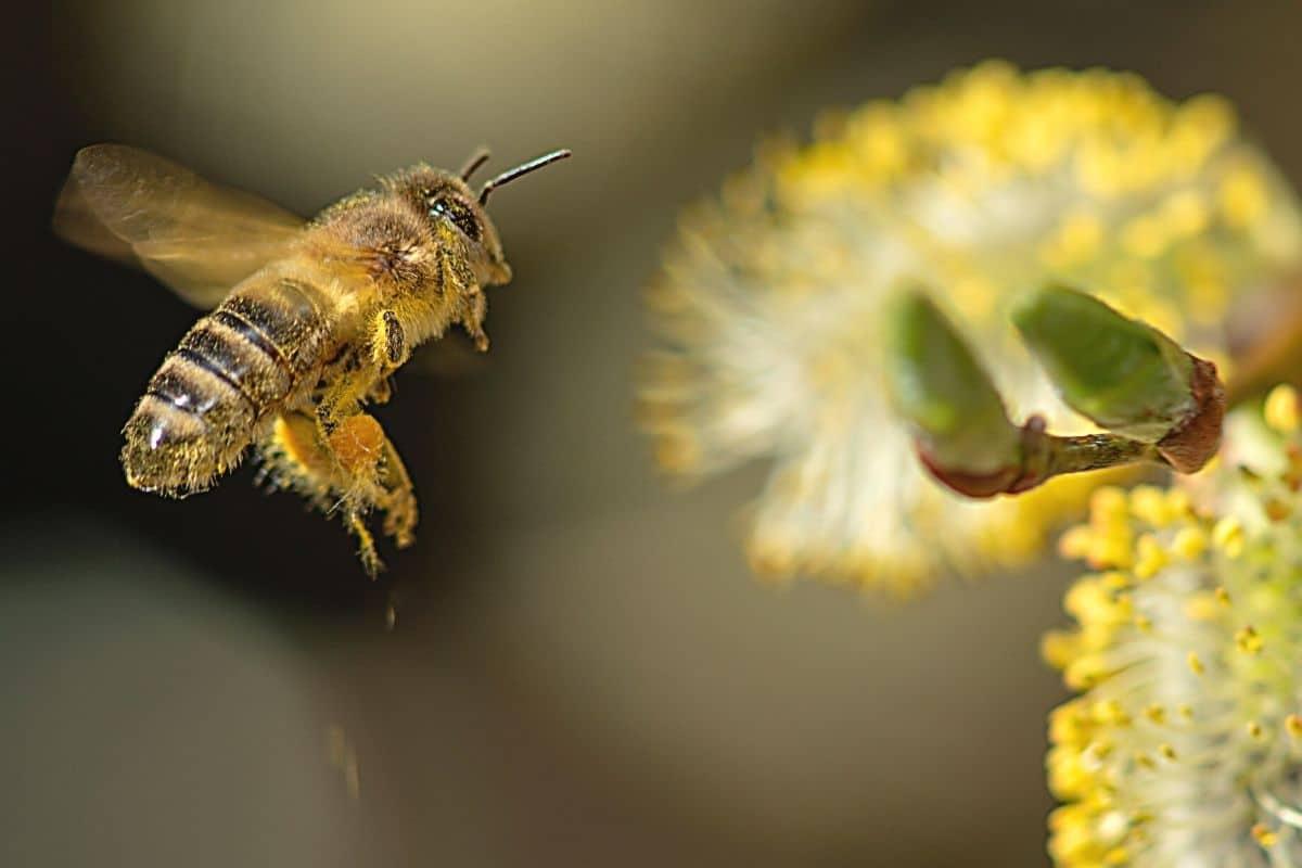 Biene fliegt Blüte an