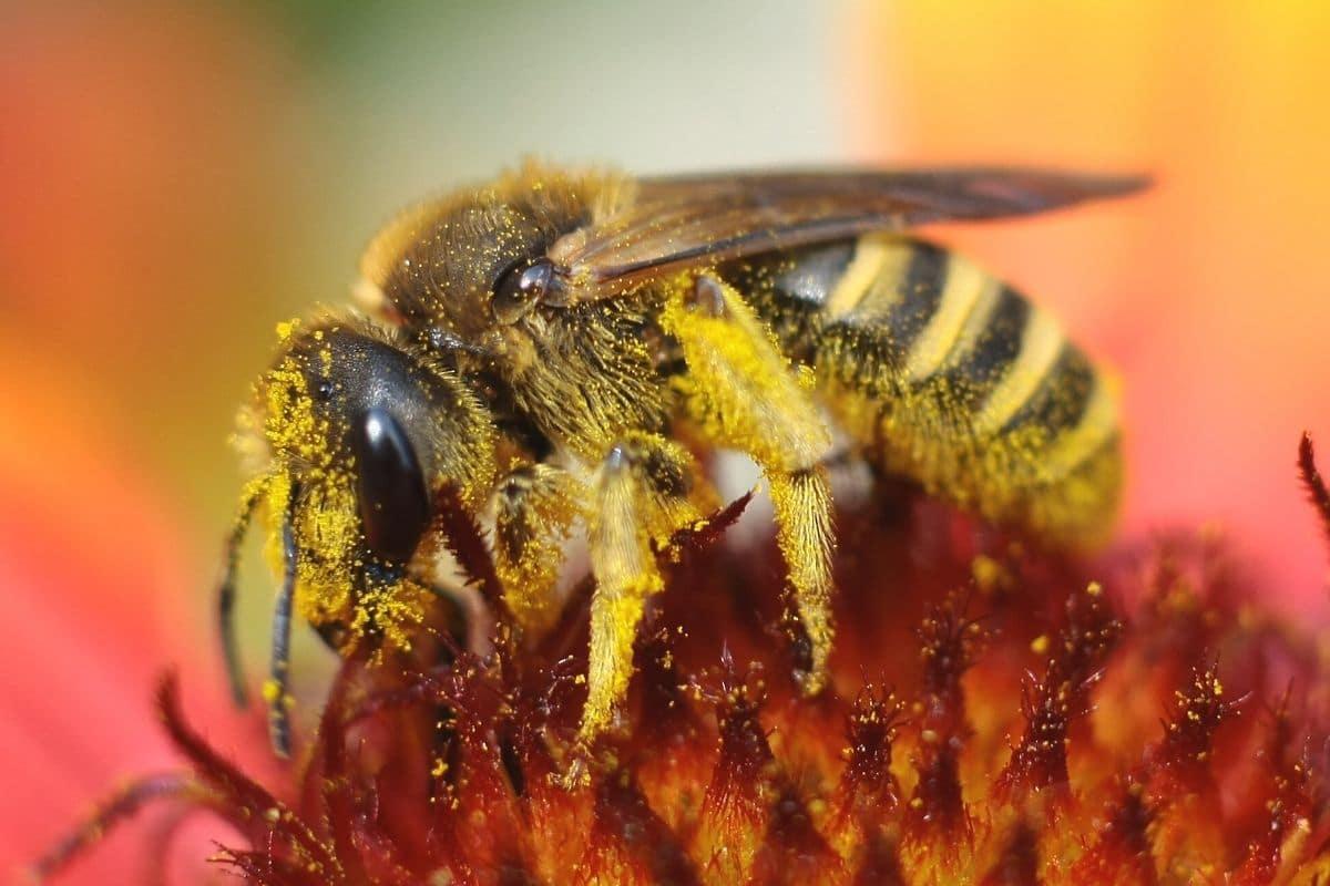 Biene in Blüte voller Pollen