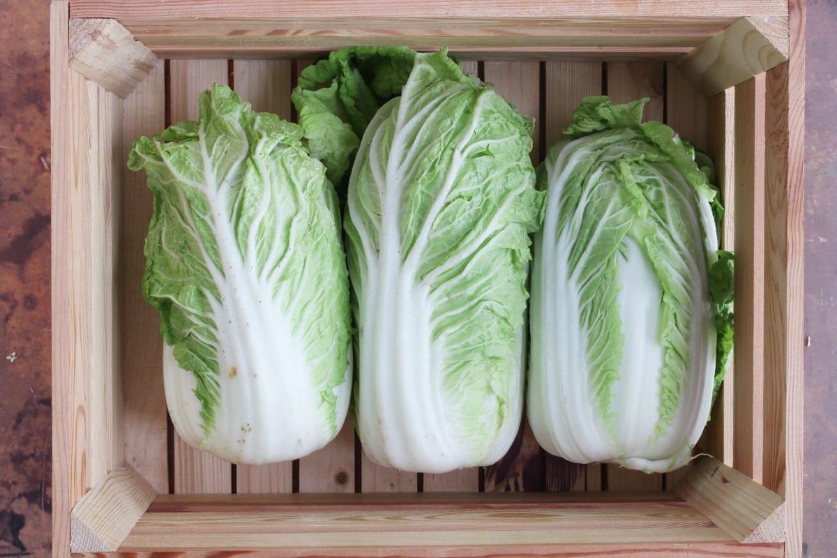 Chinakohl (Brassica rapasubsp.pekinensis)