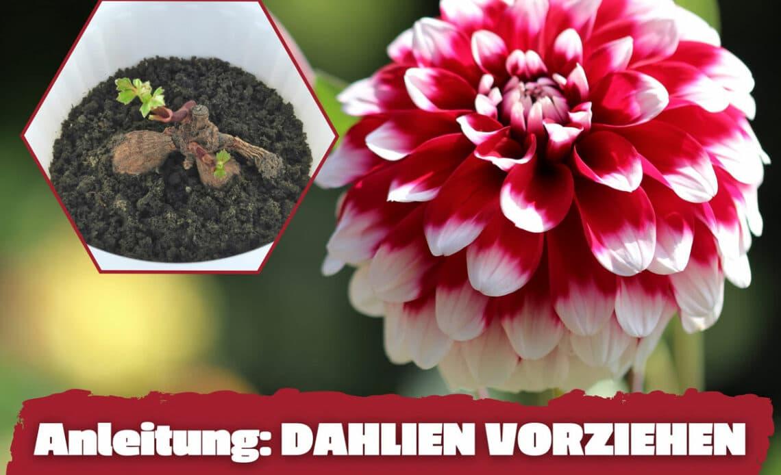 Dahlien vorziehen - Dahlien-Blüte und Keimling