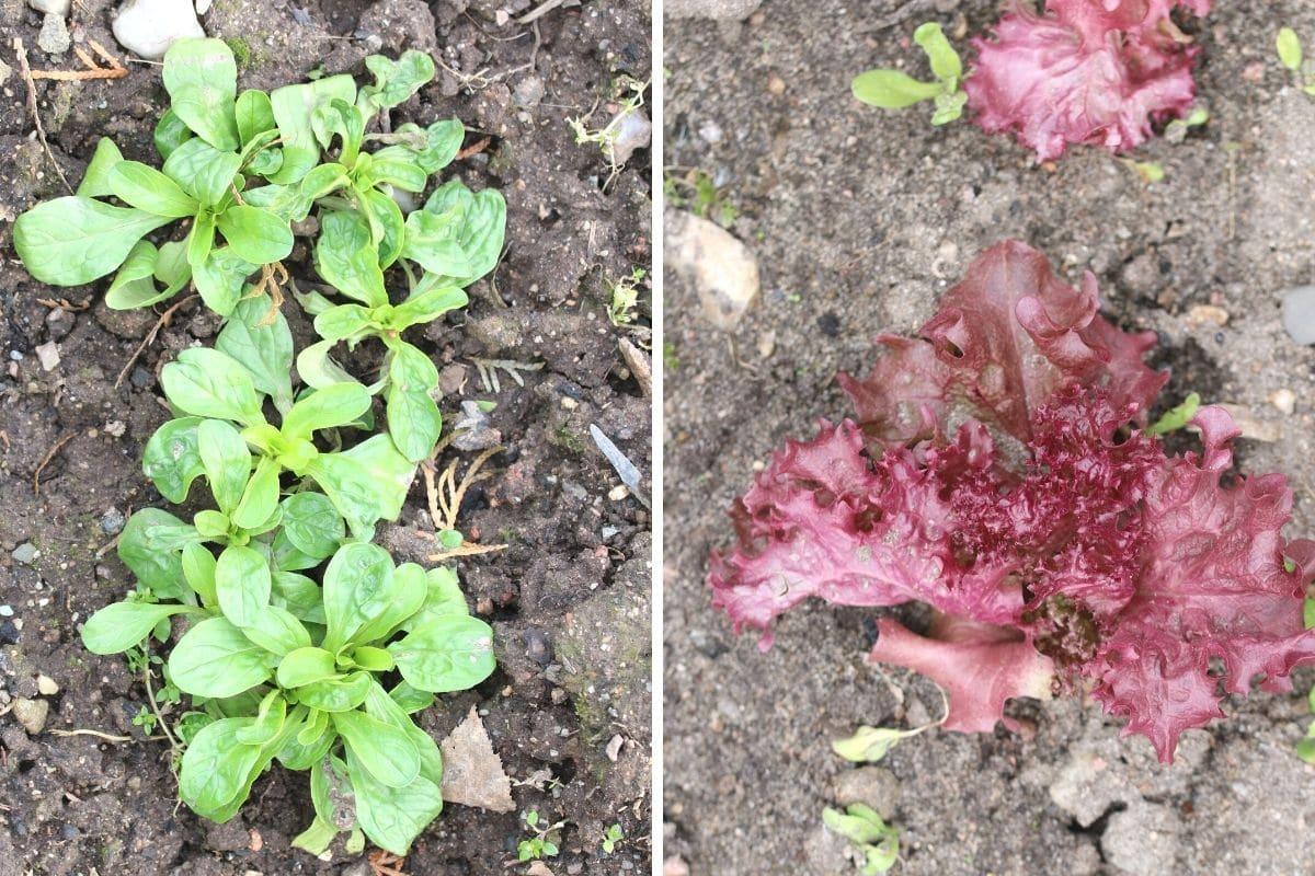 Feldsalat und Pflücksalat 'Lollo Rosso'