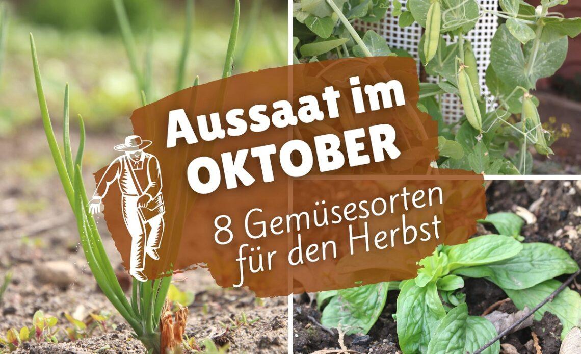 Gemüse-Aussaat im Oktober - Winterzwiebel, Winterbse und Feldsalat