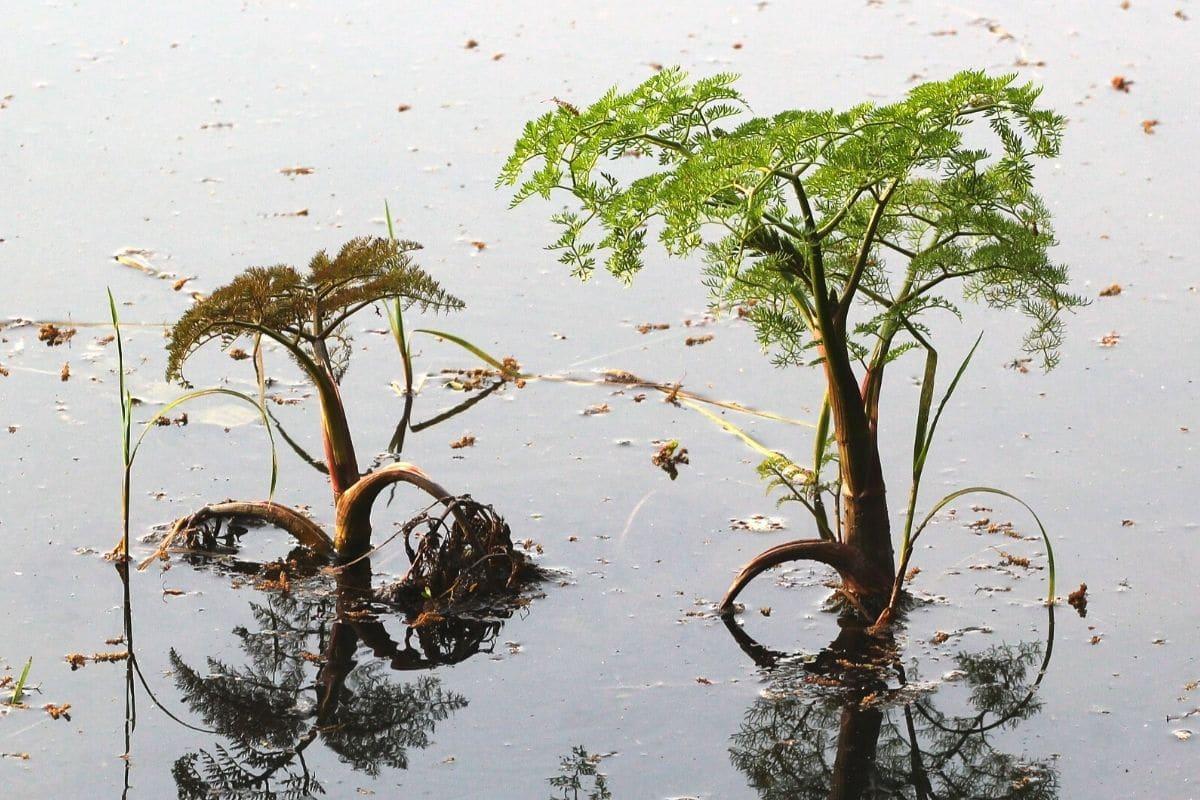 Großer Wasserfenchel (Oenanthe aquatica)
