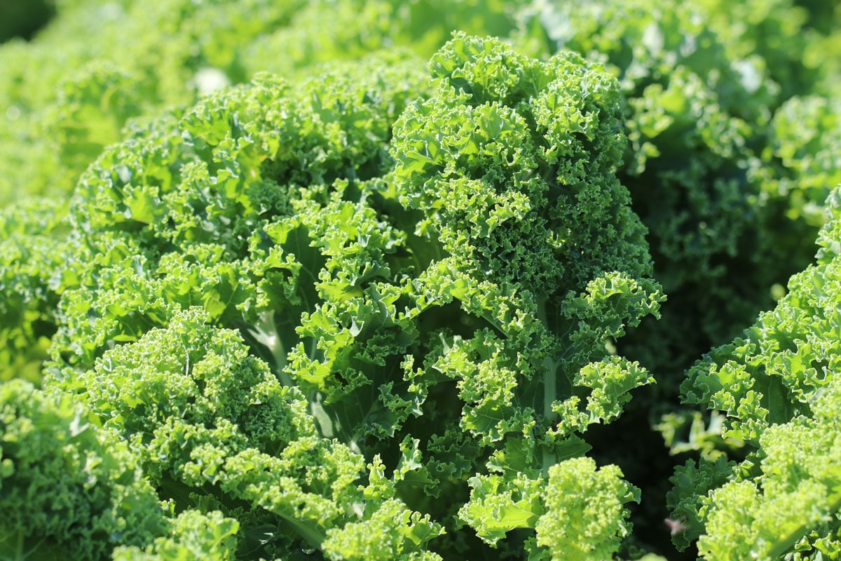 Grünkohl (Brassica oleraceavar.sabellica)