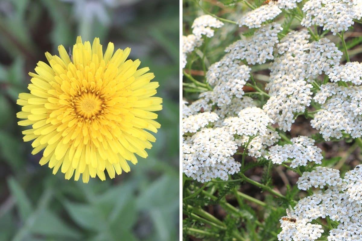 Löwenzahn (Taraxacum sect.  Ruderalia) und Schafgarbe (Achillea millefolium)