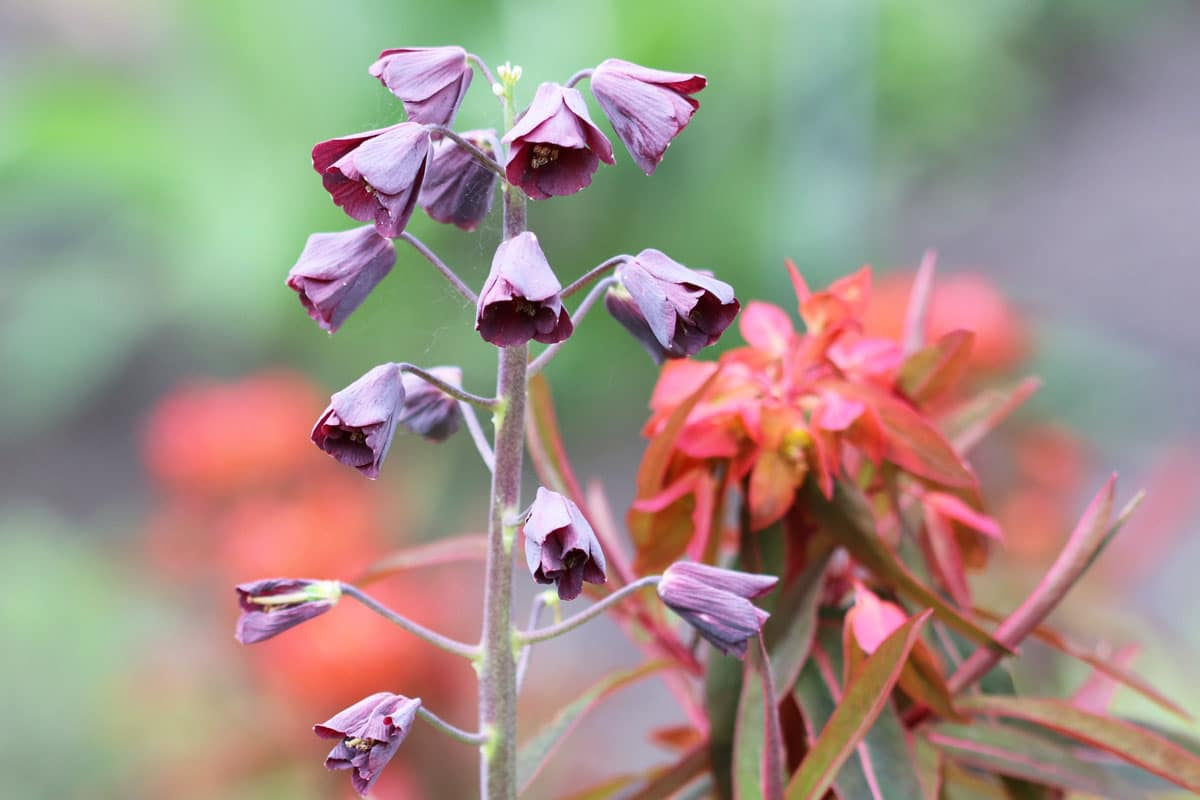 Persische Glockenblume (Fritillaria persica)