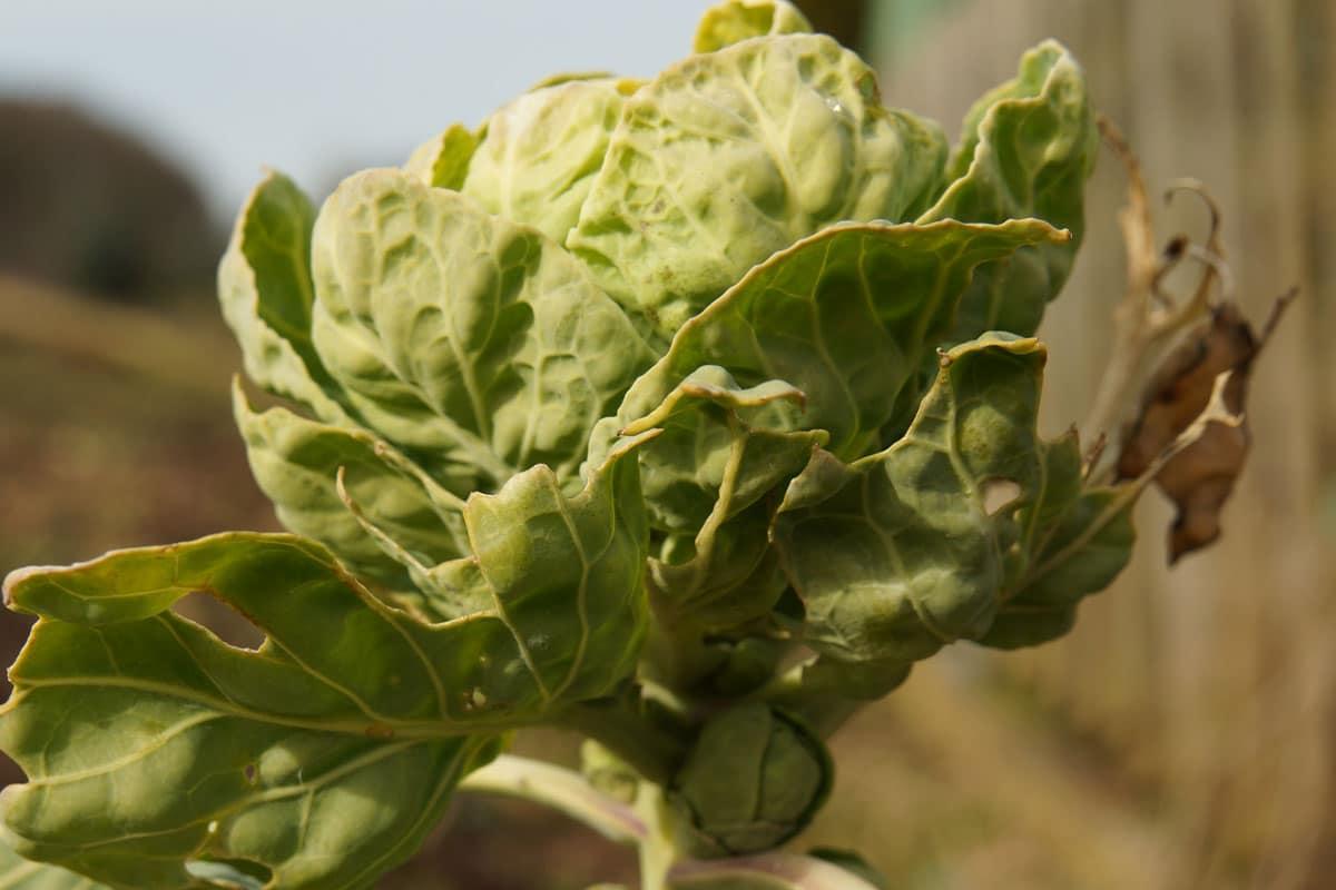 Rosenkohl (Brassica oleraceavar.gemmifera)