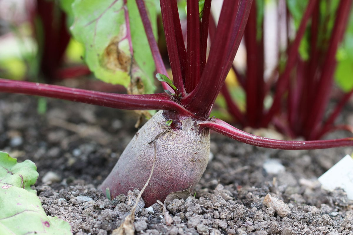 Rote Bete (Beta vulgaris subsp. vulgaris)