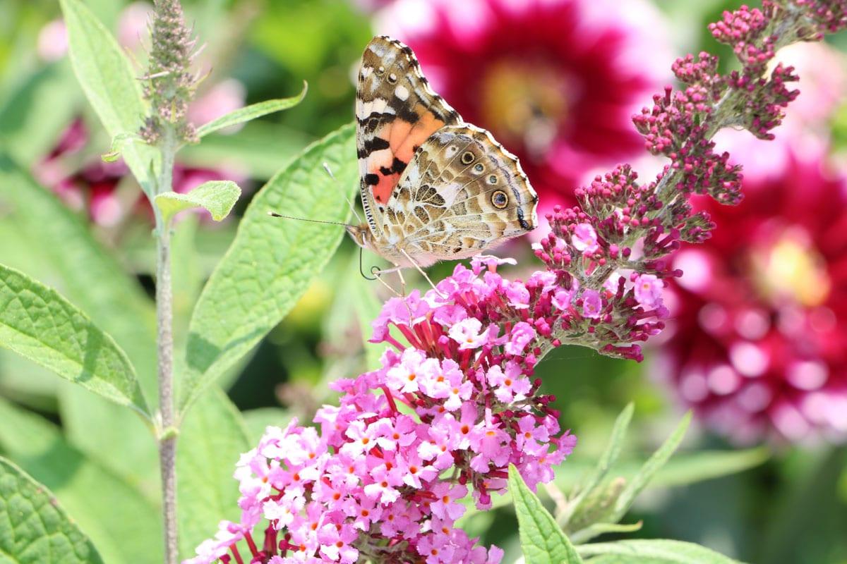 Schmetterlingsflieder (Buddleja davidii) mit Distelfalter (Vanessa cardui)