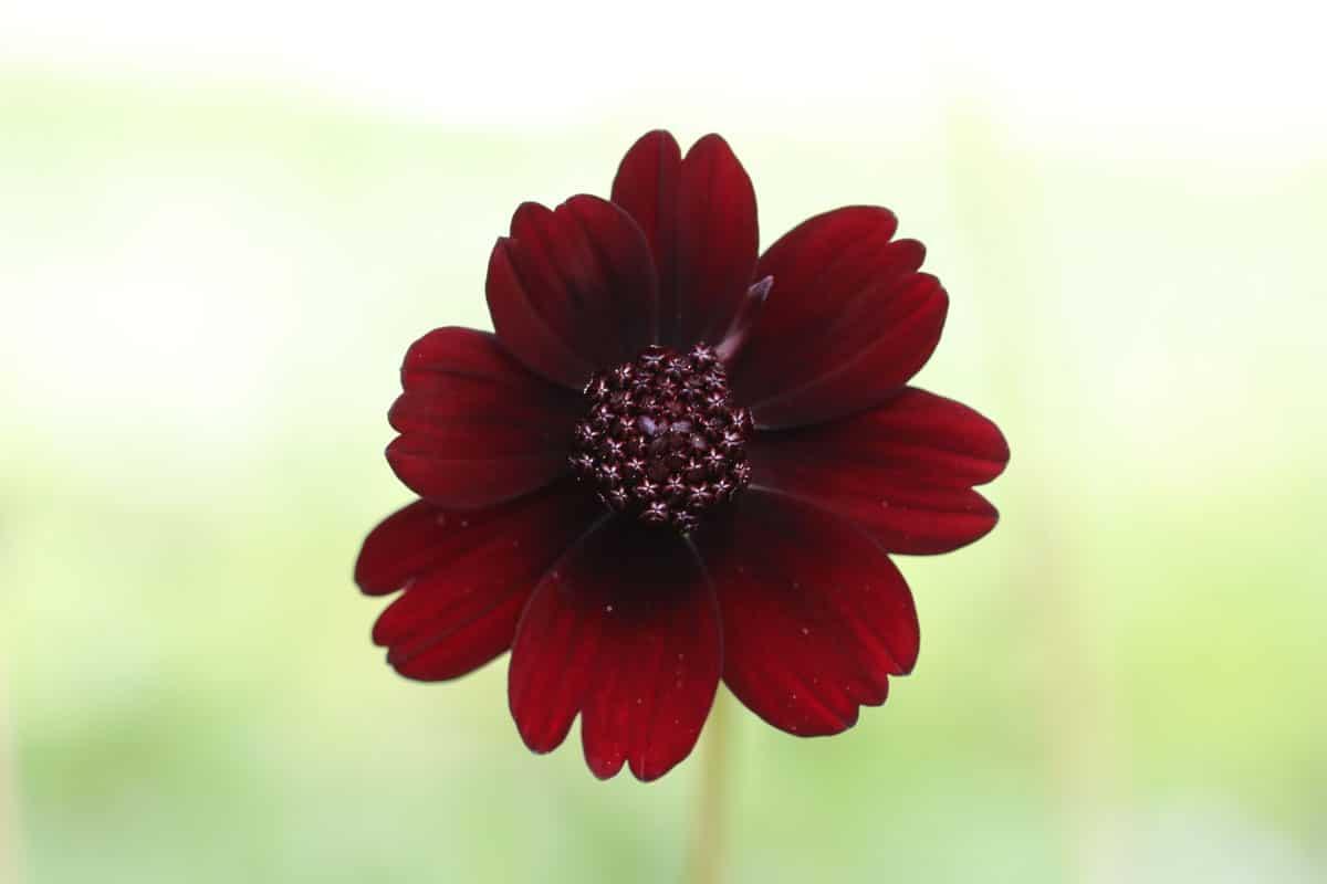 Schwarze Kosmee (Cosmos atrosanguineus)