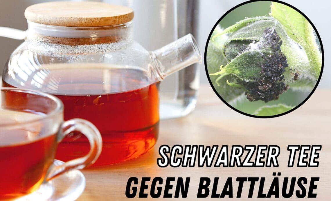 Schwarzer Tee gegen Blattläuse - Teekanne mit schwarzem Tee und Läuse an Sonnenblume