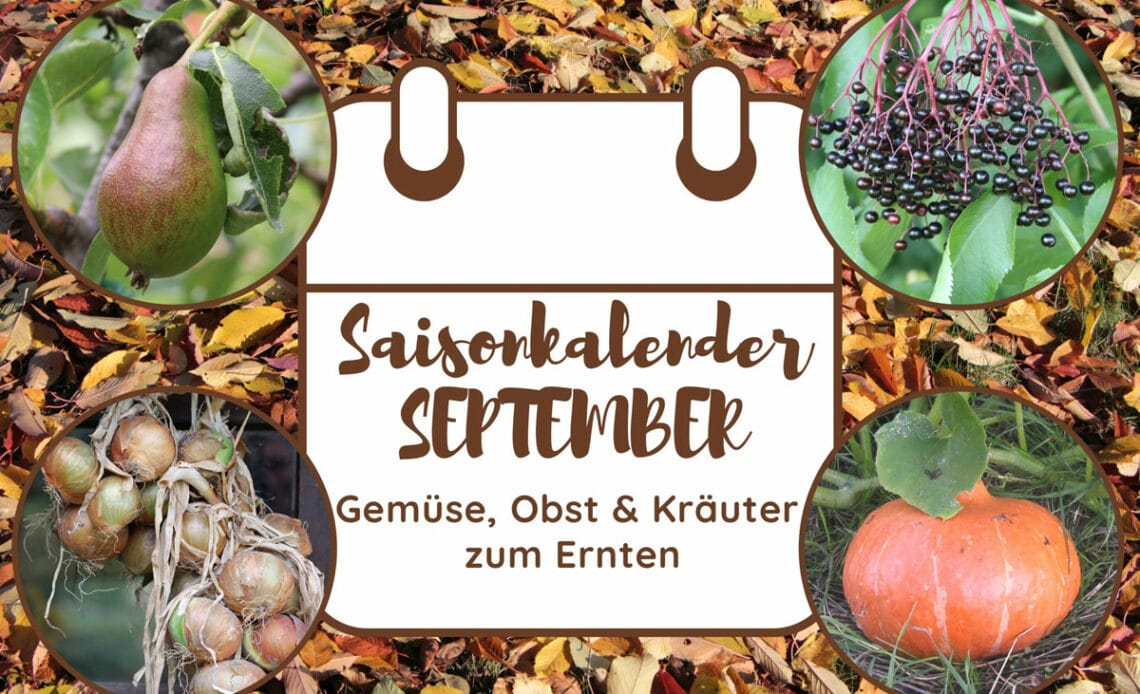 Saisonkalender Ernte im September - Birne, Holunderbeeren, Kürbis und Zwiebeln