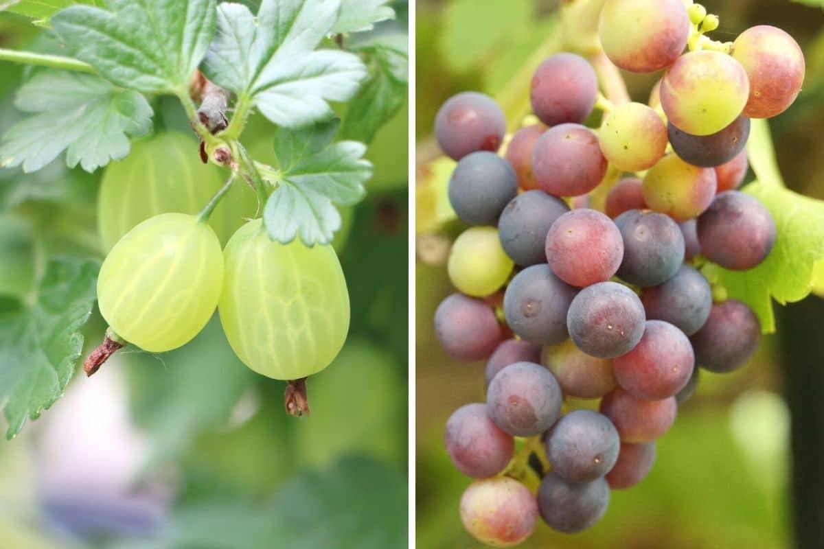 Stachelbeeren und Weintrauben