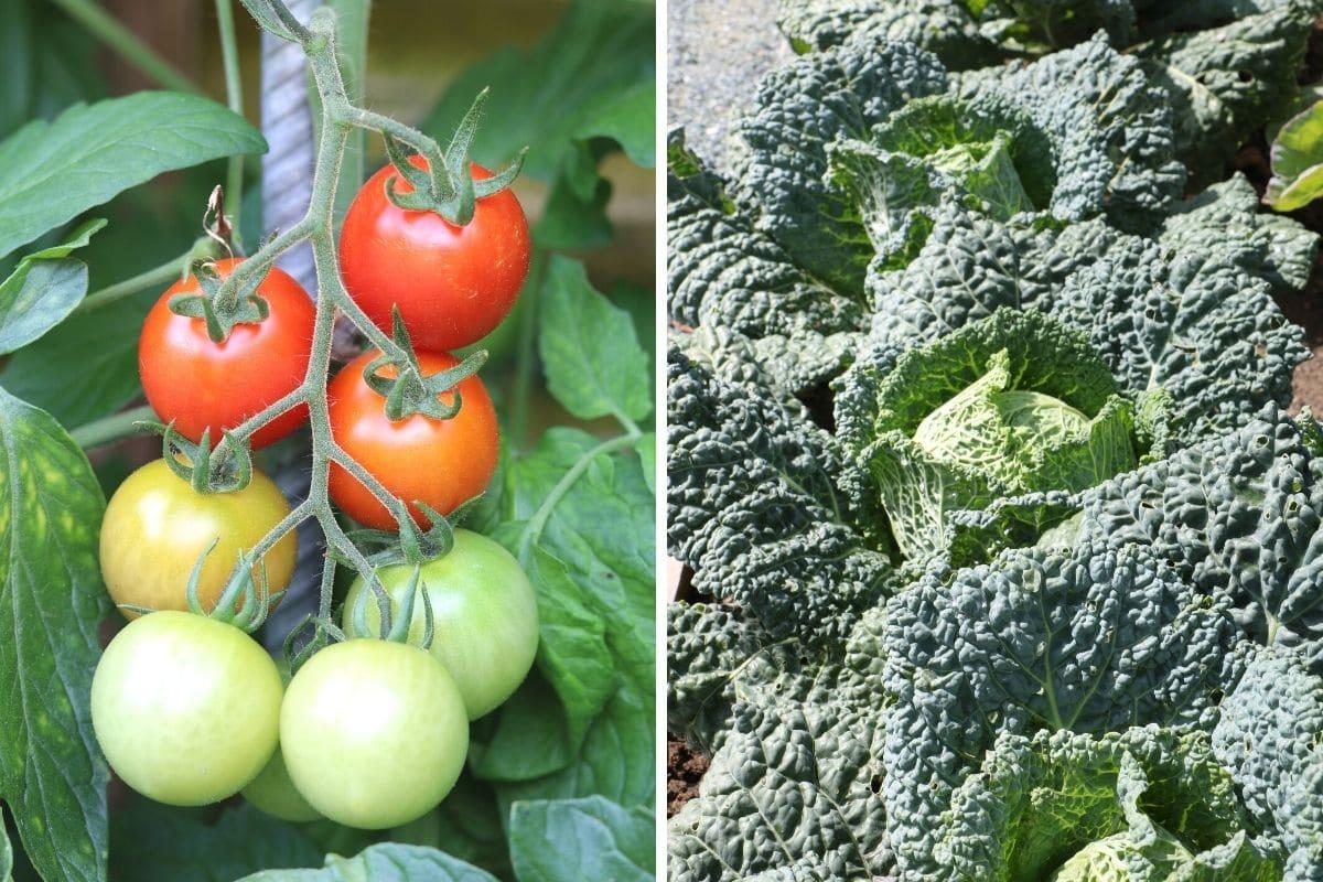 Tomaten und Wirsing
