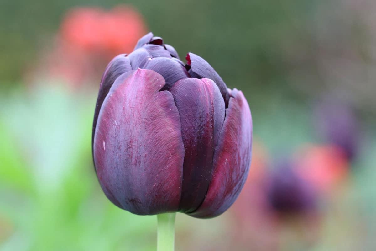 Tulpe 'Queen of Night'