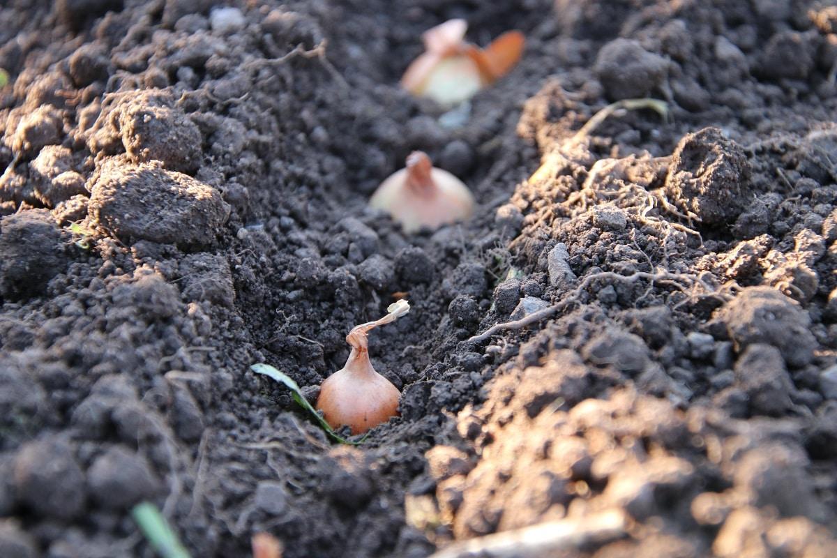 Wintersteckzwiebel (Allium cepa)