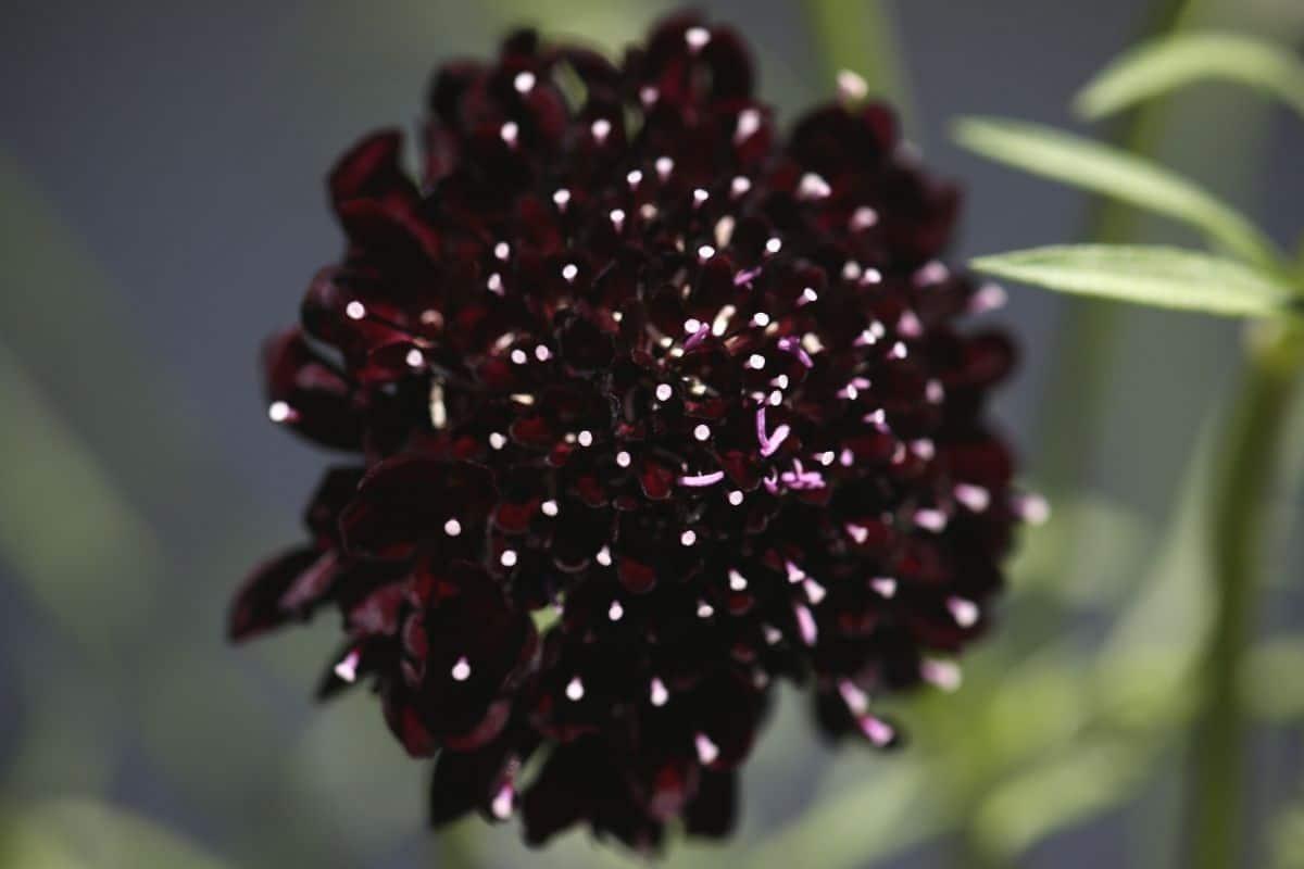 Witwenblume - Scabiosa atropurpurea 'Black Knight'